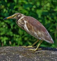 Indian pond heron (Nishith_Pursnani) Tags: indian pond heron bird wild wildlife nature green rainy rain monsoon basking jungle outdoor birds nikon tamron nishith pursnani nmp vasai maharashtra india