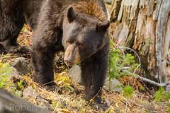 Big guy (ChicagoBob46) Tags: blackbear bear yellowstone yellowstonenationalpark nature wildlife