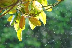 Autumn Rain Pt.2 (millychaplyn) Tags: rain autumn sky falling weather nature wind winter summer spring leaves fall raindrop raindrops natural macro