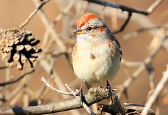 American tree sparrow at Decorah Fish Hatchery IA 854A1666 (lreis_naturalist) Tags: american tree sparrow decorah fish hatchery winneshiek county iowa larry reis