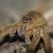 Great Raft Spider