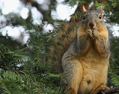 Squirrel, Morton Arboretum. 372 (EOS) (Mega-Magpie) Tags: canon eos 60d nature wildlife outdoors squirrel green tree the morton arboretum lisle dupage il illinois usa america