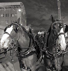 Horsing Around (Mahalograph Photography) Tags: budweiser clydesdales blackandwhite outdoors animal horses horse