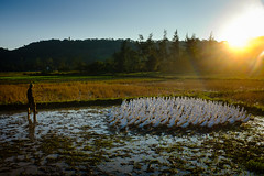 Co To Island ( Antoni Myliborski ) Tags: animal bird coto duck field vietnam waterbird