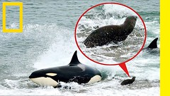 Predator Killer Whale  Documentary National Geographic HD  With Espanol Translation  (Nature Documentaries HD) Tags: documentary best wildlife nature tv genre 2016 history documentaries bbc hatsoft film place cool ever made 2015 earth planet top subject full national geographic secrets humans airlines space universe plants must weather mysterious 2012 wild great forest strange
