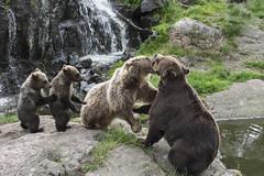 Family quarrel (Daniel Langhammer) Tags: kolmården sweden animals bear cubs björn kubbar familjegräl gräl quarrel
