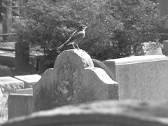 Happy little guy! (Star Cat) Tags: nyc bird cemetery grave graveyard stone rip tomb tombstone queens perch machpelahcemetery