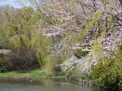 (kasa51) Tags: japan digital lumix spring pond panasonic willow  cherryblossom sakura yokohama f18 olympuspen 45mm     gf1 totsuka   mzuiko