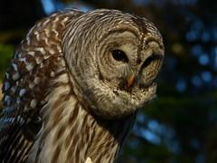 Hooooooo Goes There? (ebirdman) Tags: male owl barred barredowl strix varia strixvaria