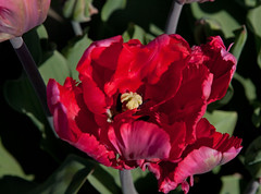 Red. (Knoffelhuisie Photography.) Tags: red tulip noordoostpolder rood nop tulp elementsorganizer