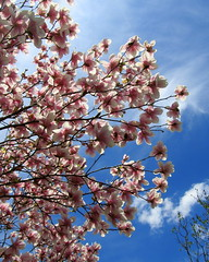 IMG_2107-001 (quirkyjazz) Tags: trees clouds spring lookingup magnolias blueskky