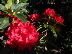 Uplake Rhodies (Sotosoroto) Tags: flowers washington rhododendron kenmore