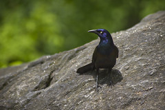 Grackle (daniel geoghegan) Tags: newyork birds centralpark grackle theramble canonrebelt3i