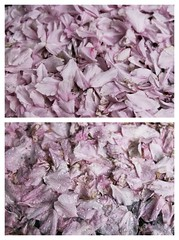 Before and After Rain (super-kell) Tags: pink texture nature rain petals spring diptych blossoms fallen cherryblossom beforeandafter