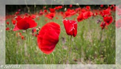 Coquelicot (Jeff-Photo) Tags: nature fleur canon champ coquelicot 50d