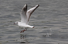Mediterranean Gull (Leo smith - rocket2cool) Tags: nature canon mediterranean leo wildlife gull smith os l worcestershire 100400mm hsm 60d rocket2cool