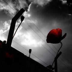 Gasp (armelle chapman) Tags: red blackandwhite flower nature fleur rouge liberty freedom escape noiretblanc sony breath prison libert poppy barbedwire souffle alpha fragile barbwire coquelicot gasp clandestine barbel colorisation respirer