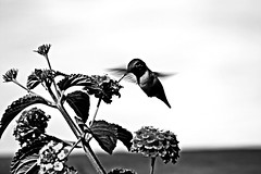 Stop Us Never (Christinalanee) Tags: blackandwhite white black bird love birds happy photography photo hummingbird photos tag joy happiness tags