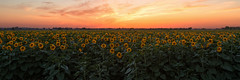 Fields of Sunflower (boingyman.) Tags: light sunset flower nature field landscape pano panoramic sunflower sacramento scape natomas boingyman