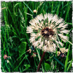 Make A Wish Come True (LiesBaas) Tags: blow dandelion iphone paardenbloem iphotography iphonography liesbaas makeawishcometruebyliesbaas flickrstopmessingwithus