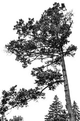 Pine Tree (nicpic) Tags: school blackandwhite plants plant tree pine perkins perkinsschoolfortheblind