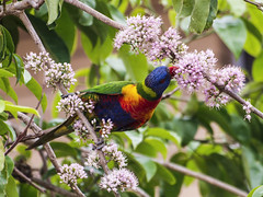 the nectar hunters - rainbow lorikeet in a eurodia tree (Fat Burns) Tags: flower bird fauna rainbow parrot pinkflower nectar rainbowlorikeet bluey australianbird australianfauna australianparrot birdeatingnectar euodiatree euodiaflower