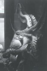 0610 (maryjolene//) Tags: vancouver aquarium delta octopus 3200 ilford