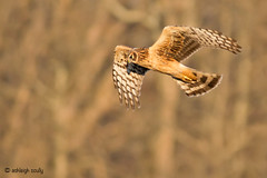 Female Northern Harrier in Flight (Ashleigh Scully) Tags: northernharrier sonya55 tamron200mm500mmtelephoto