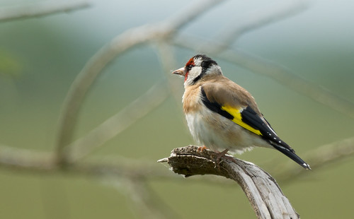 GOLDFINCH - STRUMPSHAW FEN