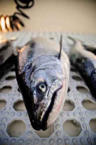 Salmon Torpedo
