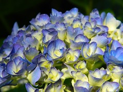 Each happiness of yesterday is a memory for tomorrow. (careth@2012) Tags: hydrangea beautifulblossoms unforgettableflowers thebestofunforgettableflowers