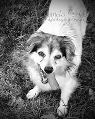 Patty (PJMDigitalDesignAndPhotography) Tags: blackandwhite bw dog animal tongue puppy canine rescuedog pamelamaddox