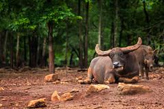 Buffalo (kapuk dodds) Tags: red wild tree green animal pig buffalo soil land