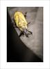 M. Yellow (Jack O'Donate) Tags: macro proxy coleoptera curculionidae lixus nikond600 rhynchites charençon sigma150mmf28apomacrodgexoshsm