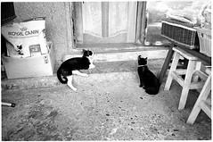 Image0001b (herchong) Tags: leica cat rangefinder m v3 rf  elmarit streetcats 28mmf28 2828  fujicolor100