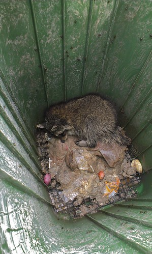 Trapped racoon