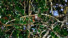 Bewick's Wren (Thryomanes bewickii) (Steve Arena) Tags: bird wren songbird bewickswren bewr