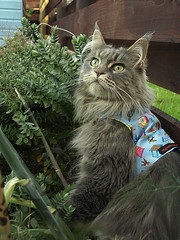 Breeze in the (sort of) wild, 4 Sep 13 (Castaway in Scotland) Tags: blue pet cute animal cat grey scotland tabby maine adorable kitty tags olympus east coon sliver lothian musselburgh e410