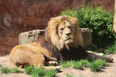 Lions (Nougat511) Tags: animals canon zoo lion lions bigcats thelionking teamcanon