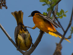 Oriole Love...Grasping (Bonnie Ott) Tags: oriole northernoriole baltimoreoriole mating oriolesmating birdsmating cloacalkiss sex bonniecoatesott