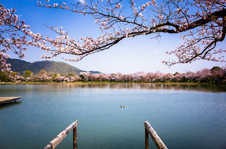 sakura '15 - cherry blossoms #19 (Daikaku-ji temple, Kyoto)