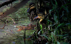 Emerging From The Shadows - Adventures Of A New Duckling (jrussell.1916) Tags: sunlight green nature yellow morninglight spring wildlife ducks ducklings illuminated mallards canonef70200f4lis14tc