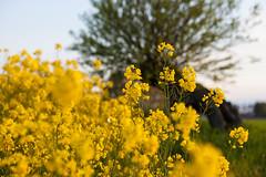 Spring in Skne (Hkan Dahlstrm) Tags: field yellow photography se skne sweden mustard cropped agriculture raps f40 rapeseed 2015 vellinge ef85mmf18usm skneln canoneos5dmarkii sek vellinges 5419052015201712