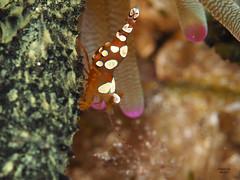Crevette de Thor (denis.fiel) Tags: dominique thor antilles dominica carabes crevette rcif