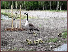 Canada goose (PeepeT) Tags: finland nokia canadagoose brantacanadensis kanadanhanhi