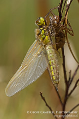 Emergent Four Spotted Chaser (Libellula quadrimaculata) (gcampbellphoto) Tags: macro nature insect dragonfly wildlife northernireland countyantrim odonata fourspottedchaser libellulaquadrimaculata gcampbell