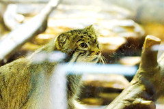 Feline in Ueno Zoo :  (Dakiny) Tags: 2016 autmn september japan tokyo taito ueno outdoor nature park uenopark zoo uenozoo animal mammal feline cat wildcat nikon d7000 sigma apo 70200mm f28 ex hsm apo70200mmf28exhsm sigmaapo70200mmf28exhsm nikonclubit
