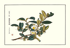 China tea (Japanese Flower and Bird Art) Tags: flower china tea thea sinensis theaceae shoseki kose nihonga woodblock picture book japan japanese art readercollection