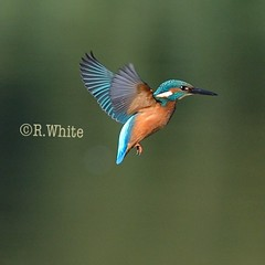 Kingfisher hovering (ftm599) Tags: lake nikon wildlifephotography wildlife nature wild hunting hunter wings actionphotography action hovering flying bif birds bird kingfishers kingfisher