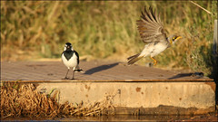 Yellow-throated Miner bathing (4 photos) (cleardrops) Tags: yellowthroatedminer magpie lark pee wee alicesprings